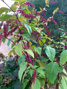 An image of a pokeweed, stripped of most of its fruit by birds. Photo taken by Kelly Clark