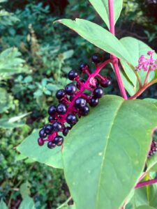 A close-up image of a stalk of pokeberries. The plant's leaves, stems, and a flowering stalk are also visible in the photo. Photo by Kelly Clark.